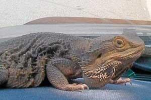 alhambra_lizard